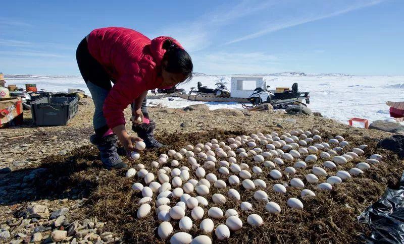 白色污染恶化 北极地区鸟蛋中被发现化学添加剂